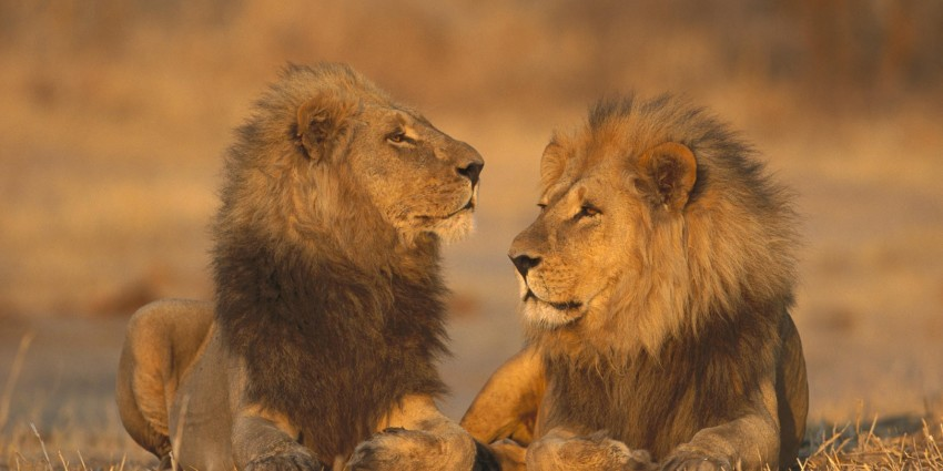 african-animals-games-lions-2000x1333-wallpaper